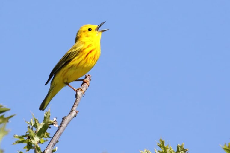 yellow-warbler-singing-on-branch-blue-sky